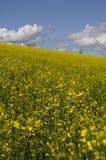 желтый цвет цветка поля сурепки Стоковое Изображение RF