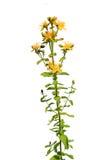 желтый цвет цветка поля Стоковое Изображение RF