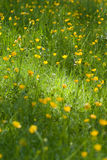 желтый цвет цветка поля Стоковые Изображения RF