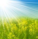 желтый цвет цветка поля Стоковое Фото