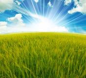желтый цвет цветка поля Стоковое Изображение