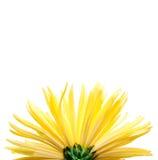 желтый цвет цветка предпосылки белый Стоковое Изображение RF