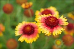желтый цвет цветка предпосылки красный Стоковое Изображение RF