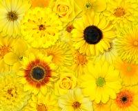 желтый цвет цветка предпосылки Стоковая Фотография