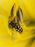 желтый цвет цветка пчелы Стоковое фото RF