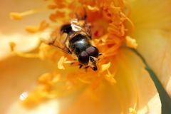 желтый цвет цветка пчелы Стоковое Фото