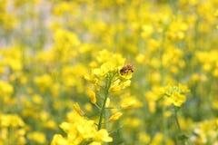 желтый цвет цветка пчел стоковое фото