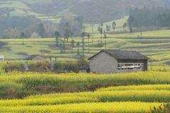 желтый цвет цветка фермы коттеджа Стоковое фото RF