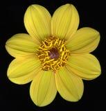 желтый цвет цветка цветеня стоковые изображения