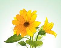 желтый цвет цветка цветеня Стоковое Фото
