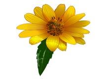 желтый цвет цветка цветеня стоковое изображение rf