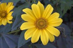 желтый цвет цветка стоковое изображение rf