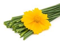 желтый цвет цветка chives свежий Стоковое Фото