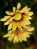желтый цвет цветка reflections6 Стоковые Фото