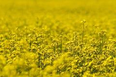 желтый цвет цветка s 2 полей Стоковое Изображение RF
