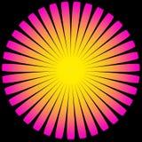 Желтый цвет цветка Sun Magenta Стоковое Изображение RF