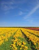 желтый цвет цветков полей Стоковое Фото