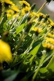желтый цвет цветков Стоковая Фотография