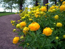 желтый цвет цветков Стоковое Фото