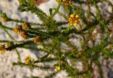 желтый цвет цветков Стоковое Изображение