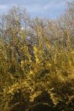 желтый цвет цветков bushes стоковое фото