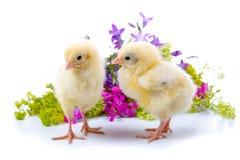 желтый цвет цыплят Стоковое фото RF
