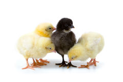 желтый цвет цыплят Стоковое Изображение