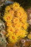 желтый цвет чашки коралла стоковое фото rf