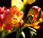 желтый цвет черного fresia лиловый Стоковая Фотография