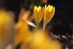 желтый цвет шафрана лужка Стоковые Изображения