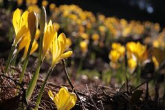 желтый цвет шафрана лужка Стоковое Изображение RF
