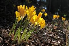 желтый цвет шафрана лужка Стоковая Фотография RF
