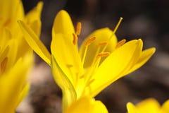 желтый цвет шафрана лужка Стоковые Изображения RF
