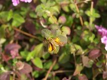 желтый цвет шкипера пламенистых листьев бабочки сидя Стоковая Фотография