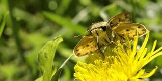 желтый цвет шкипера фронта цветка бабочки всасывая Стоковое Фото