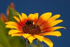 желтый цвет шмеля цветения стоковая фотография rf
