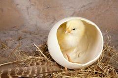 желтый цвет яичка цыпленока большой малый Стоковая Фотография