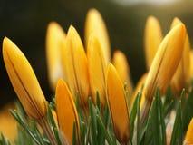 желтый цвет 01 крокуса Стоковые Фото