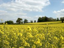 желтый цвет 2 полей Стоковое Изображение RF