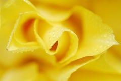 желтый цвет 2 тюльпанов стоковое изображение rf