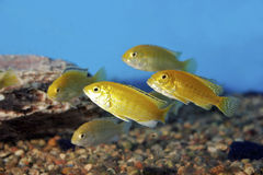 желтый цвет 700078 cichlids электрический Стоковое Фото
