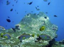 желтый цвет bali черными striped рыбами Стоковое фото RF