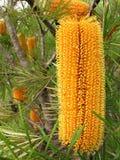 желтый цвет banksia Стоковые Изображения