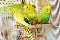 желтый цвет budgerigars Стоковое Изображение RF