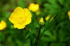 желтый цвет butercup Стоковая Фотография