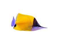 желтый цвет butterflyfish longnose стоковое фото rf