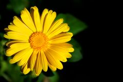 желтый цвет calendula Стоковые Изображения RF