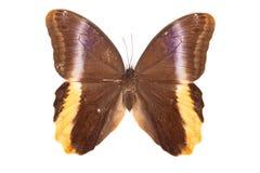 желтый цвет caligo бабочки atreus коричневый Стоковое фото RF