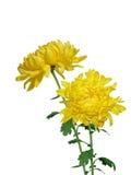 желтый цвет chrysanthermum стоковые фотографии rf