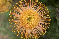 Желтый цвет condifolium Leucospermum чудесный оранжевый цветет в цветени стоковое фото